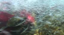 Sockeye Salmon Red Salmon Swimming Underwater Clear River Alaska Fisheries Wildlife