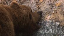 Brown Bear Grizzly Bear Pulls On Tough Skin Of Dead Humpback Whale Alaska
