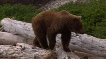 Brown Bear Walks Over Beach Logs, Alaska