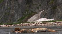 Brown Bear Grizzly Bear Feeds On Dead Humpback Whale Alaska While Another Digs Around On Bluff