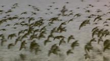 large flocks of shorebirds flying and foraging on mudflats cordova alaska