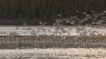big flock of shorebirds flying and resting in Cordova Alaska