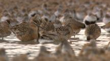 thousands of shorebirds flock during migration through tidal mudflats Cordova Alaska