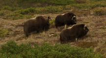 Dominant Bull In Rut Scatters Musk Oxen Herd On Alaska Tundra
