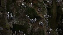 Kittiwakes Nest On Rocky Cliff Coast Of Alaska
