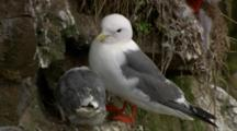Red-legged kittiwake adult with chick on cliff nest Alaska