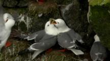 Red-Legged Kittiwake Pair Scuffles And Greets On Cliffside Rookery