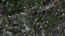 Kittiwakes Mix With Murres Cliffside Rookery Pribilof Islands