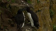 Pair Of Thick-Billed Murres Nest On Cliffs Above The Bering Sea