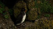Brilliant Parakeet Auklet Perches At Cliffside Rookery Pribilof Islands
