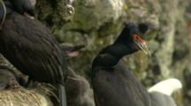 Red-Faced Cormorants And Hungry Chicks In Cliffside Nest