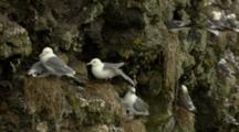 Colorful Red-Faced Cormorants And Hungry Chicks In Cliffside Nest Overlooking Bering Sea
