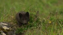 Arctic Cross Fox Kit Near Den On Marine Tundra