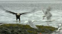 bald eagle and glaucous-winged gull scavenging for salmon in intertidal