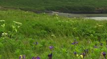 Tilt Up From Wildflowers On Alaska Tundra To Distant Bear Walking Along Beach