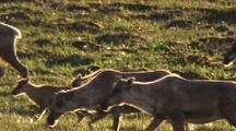 Caribou Mothers And Calves Move Through Frame Migrate Across Arctic National Wildlife Refuge