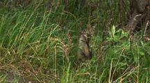 arctic ground squirrel in willow and rock habitat of river bed