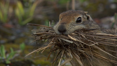 Close Up Arctic Ground Squirrel With Mouthful Of Grass In Arctic National Wildlife Refuge