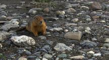 Very Close Up Arctic Ground Squirrel Forages Among River Rocks Exits Frame In Arctic National Wildlife Refuge