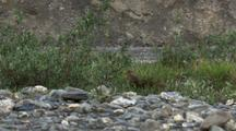 Medium Shot Arctic Ground Squirrel Scurries Through Low Vegetation Along Riverside In Arctic National Wildlife Refuge