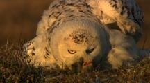 Snowy Owl Adult Holds Dead Lemming In Beak While Turing Around In Nest