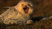 Adult Snowy Owl Calls Chick Sticks Head Up Out Of Tundra Nest