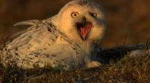 Adult Snowy Owl In Nest Chick Pokes Head Out From Between Feathers Adult Calls