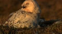 Adult Snowy Owl Tears Bits Of Lemming And Gives To Chick Who Gulps Down Food Beautiful Evening Light