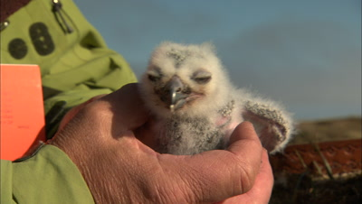Biologist Holds Fuzzy White Snowy Owl Chick
