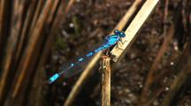 Bluet Damselfly Clings To Grass Near Pond Gates Of The Arctic National Park