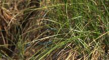Bluet Damselflies In Grass Gates Of The Arctic National Park