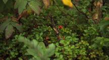 Kinnikinnick Common Bearberry And Mixed Vegetation Alaska