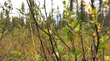 Willow Sp. And Blueberry Bush In Arctic Alaska
