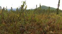 Mixed Bog Species Birch Blueberry Willow Arctic Alaska