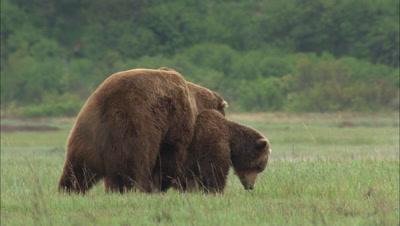 Brown Bear Grizzly Bears Mate In Alaska Meadow