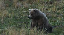 Brown Bear Grizzly Bear Eats Chews Grass Then Gets Up And Walks Out Of Frame Autumn On Alaska Peninsula