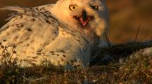 Snowy Owl Sits On Tundra Nest With Chicks Looks Toward Camera Screeches