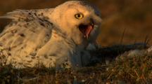Snowy Owl Sits On Tundra Nest With Chicks Eats Lemming And Looks Toward Camera Screeches
