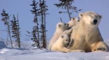 Polar Bear Triplets Follow And Tug On Mother Play With Scrub Tree On Tundra