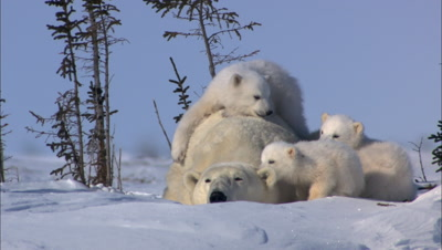 Restless Triplets Climb All Over Sleeping Mother Polar Bear Wrestle And Play