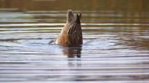 American Wigeon Female Feeding And Diving In Alaska Pond