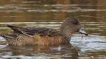 Close Up American Wigeon Female Feeding And Diving In Alaska Pond