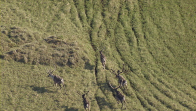 Caribou With Big Velvet Antlers Follow Ancient Migration Trails On The Green Tundra