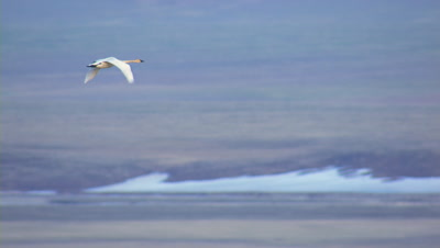 Beautiful Tundra Swan Flies Into Frame Over Arctic Tundra Pull To Reveal Mountain Background National Monument Arctic National Wildlife Refuge Anwr 50th Anniversary