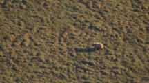 Blond Brown Bear Walks Across Tundra Exnice