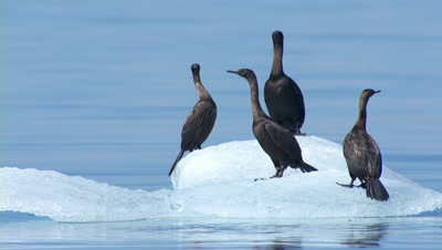 Slow Motion Cormorants Float On Iceberg Bobbing In Swell, One Bird Poops Toward Camera, Another Poops And Takes Flight Across Water In Front Of Mountains