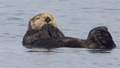 Slow Motion From Boat Cozy Sea Otter Grooms With Pink Tongue,Eyes Closed While Bobbing Gently In Swell Exnice