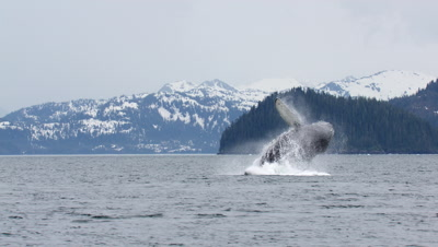 Humpback Whale Breaching In Prince William Sound Alaska Wildlife Exnice Stunning Alaska Animal