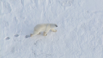 Polar Bear Walks On Land Fast Ice Adding Tracks To Others In Snow