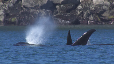 Pod Of  Killer Whales Surface Blow Then Submerge